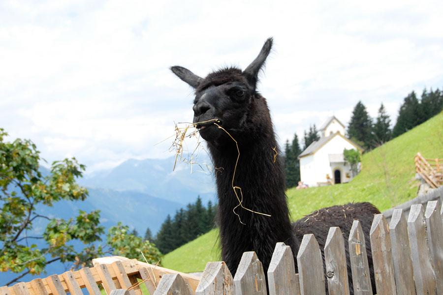 Familienwanderung: Trekking Tour mit Lamas